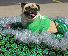 Sláinte ! (Colorado Sands) Tags: sláinte shamrocks pets fashion attire green clothes stpatricksparade denver parade irishparades festive event stpats americanparades stpaddys irish march 2010 pug pugs perros shamrocking perro chiens colorado dog cani anjing 犬 dogs 狗 us america unitedstates usa sandraleidholdt