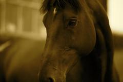 Portrait Of A Horse (Timoleon Vieta II) Tags: portrait horse golden hour exmoor thelittledoglaughed timoleon ldlportraits solzhenitsn