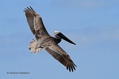 Brown Pelican (Pelecanus occidentalis) (Sharon's Bird Photos) Tags: nature water florida wildlife birding brownpelican 2012 birdinflight martincounty birdperfect exploredfebruary10