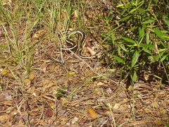 "Alameda whipsnake (adult) • <a style=""font-size:0.8em;"" href=""http://www.flickr.com/photos/69404818@N05/6849968817/"" target=""_blank"">View on Flickr</a>"