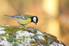 Msange charbonnire, great tit (Zed The Dragon) Tags: wild bird speed jaune french geotagged rouge effects photography photo flickr tits minolta photos bokeh sony main vert best full frame gorge fullframe alpha antony animaux parc postproduction franais greattit sal zed oiseaux 2012 francais sceaux lightroom f50 effets msange 200mm parcdesceaux iso500 favoris 24x36 a850 0005sec sonyalpha hpexif alpha350 minoltaapo 80200apog parcsceaux dslra850 alpha850 zedthedragon minoltaapo80200hs charbonnire mosaique2012a