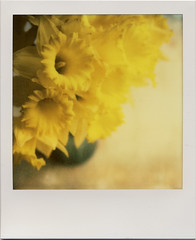 (daveotuttle) Tags: flowers polaroid sx70 spring daffodils testfilm colorshade px70 impossibleproject batch1211