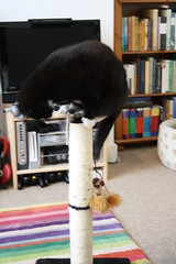 Murphy on the scratching post (Jules Bloom) Tags: cat play murphy scratchingpost