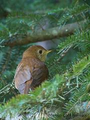 (Monic LaRochelle) Tags: bird photography photographie oiseaux grive passereau