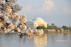 Framed (AlexSymcak) Tags: sunset cherry dc blossoms framing