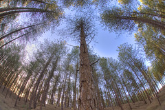 Forest fisheye (Timster1973 - thanks for the 9 million views!) Tags: trees distortion swansea southwales wales forest fisheye gower 15mm f28 hdr whitford photomatix sigma15mm perspectivedistortion sigmafisheye whitfordpoint hdrforest f28fullframe