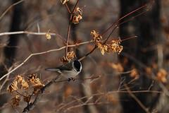 Marsh Tit (Edvenchers) Tags: winter mountains birds hiking korea tm  marshtit  deogyusan deogyusannationalpark