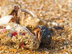 Hermits (pedroboe) Tags: beach coral crab playa hermit crustaceos