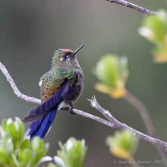 Rainbow-bearded Thornbill (Chalcostigma herrani) (Jeluba) Tags: bird nature canon square ecuador wildlife aves ornithology birdwatching oiseau carr neotropical chalcostigmaherrani rainbowbeardedthornbill weisspitzenglanzschwnzchen mtallurearcenciel