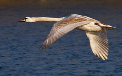 Signet Beauty (Geographyman) Tags: bird nature swan wildlife flight cygnet specanimal canon70300mml