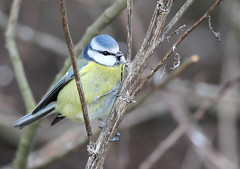 Blue Tit 1, Feeders, RSPB Dungeness (Jim_Higham) Tags: blue wild bird nature tit natural wildlife beak feathers reserve feeder dungeness bluetit rspb peregrino27life