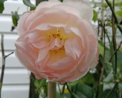 10162011883 (triciawd) Tags: rose clematis salvia begonia hydrangea phlox chrysanthemum cosmos monkshood malva nicotina toadlily cleome newyorkasters sedumfllowers gayfeatherseedhead