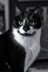Snickers' portrait (loco's photos) Tags: blackandwhite bw white black male monochrome cat feline rainyday pentax tuxedo snickers kr highiso domesticshorthair niksoftware da5514 friendsofzeusphoebe silverefexpro2
