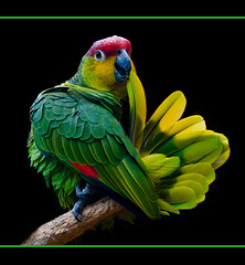 I feel pretty, oh so pretty !! (Steve Wilson - over 2 million views Thanks !!) Tags: uk greatbritain light red brazil england black cute green bird southamerica nature beautiful animal gardens blackbackground america garden zoo fan ecuador amazon nik