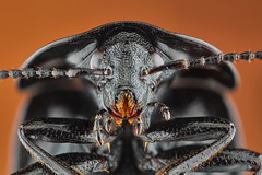 European carrion beetle (Alexander Rauch) Tags: macro up european close beetle stack alexander carrion rauch coleoptera stacker schwarzer silphidae zerene atrata phosphuga schneckenjger