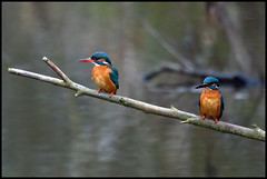 mr & mrs ... (John FotoHouse) Tags: birds wildlife pair 2012 rspb dolan fairburnings kingfishers johnfotohouse