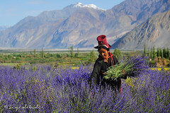 In the Last Lavender Glimmer of Summer Day (Sayid Budhi) Tags: india mountains farm farming lavender culture farmer himalaya jk ladakh nubravalley dolma northindia jammuandkashmir peoplephotography wildlavender ladakhiwoman humanphotography northladakh ladakhitraditionaldress