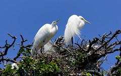 Pair Great Egrets (Cathy Hennessy) Tags: birds florida staugustine storks spoonbills herons alligators egrets greategrets alligatorfarm cattleegrets tricoloredherons littleblueherons cathyhennessy snowyegtrets