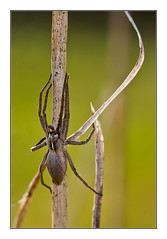 Araigne : Pisaure admirable / Nursery web spider (Pisaura mirabilis) (bEOSien87) Tags: france macro nature animal canon french eos spider wildlife web franais araigne nurserywebspider sigma105mm 550d pisauramirabilis pisaureadmirable sigma105mmf28exdg rebelt2i kissx4