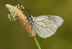 Black-veined White - Aporia crataegi (Pete Withers) Tags: white butterflies lepidoptera blackveinedwhite aporiacrataegi aporia crataegi blackveined