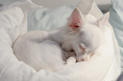 Eve (T4_photo) Tags: dog white chihuahua nikon sleep pillow 50     d7000 elitechihuahuas