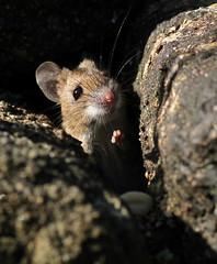 Mouse (jenny*jones) Tags: nature canon mouse march explore peanut westyorkshire 2012