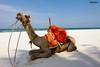 Camel Diani Beach South of Mombasa Kenya (Stuart Butler / Oceansurf) Tags: africa portrait holiday travelling beach animals landscapes kenya wildlife tribal adventure explore tribes somali lonelyplanet lamu samburu masai mombasa malindi swahili ethiopian lewa moyale isiolo turkana lodwar pokot stuartbutler rendille marsabit loyangalani
