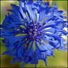 Cornflower (mariola aga) Tags: blue light shadow summer sunlight flower macro nature closeup square glencoe cornflower chicagobotanicgarden thegalaxy asquaresuperstarstemple