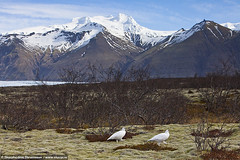 Ptarmigan (Lagopus muta) in Skaftafell National Park, south Iceland (skarpi - www.skarpi.is) Tags: park wild mountain snow bird nature birds nationalpark moss spring national fugl ptarmigan vor mosi muta skaftafell rjpa vatnajkull skaftafellnationalpark hvannadalshnjkur suurland southiceland lagopus fuglar hafrafell birki rfi hrtfjallstindar jgarur skaftafellsssla hnjkur vatnajkulsjgarur hnjkurinn skaftafellsjlukk