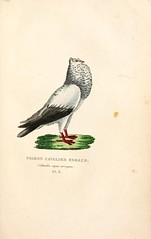 n234_w1150 (BioDivLibrary) Tags: pigeons bhl:page=1908460 dc:identifier=httpbiodiversitylibraryorgpage1908460 mblwhoilibrarywoodshole taxonomy:trinomial=columbaliviadomestica