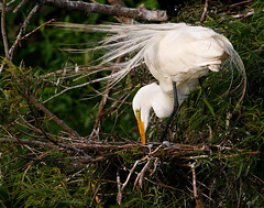 Great Egret with Eggs (Let there be light (Andy)) Tags: birds eggs egret nesting breedingplumage houstonaudubon fowlfeatheredfriends smithoaks