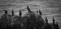 The Gathering (Paemon) Tags: paemon pentax kr blackandwhite pacificcoasthighway westcoast centralcoast california usa america birds rock pacificocean paemonphotography landscape