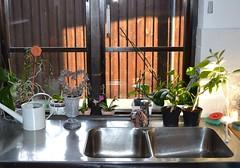 Kitchen sink (hcorper) Tags: flowers kitchen nikon sink blommor day26 wateringcan vattenkanna diskbnk aprildailyphoto d3100