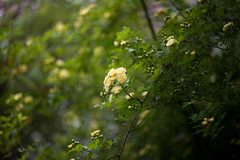 Banksia rose of neighbors (shinichiro*) Tags: flower macro japan spring may kanagawa crazyshin 2012 aroundhome afsvrmicronikkor105mmf28gifed  nikond800e 20120501d010299