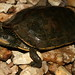 Graptemys geographica (Common Map Turtle)