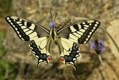 Papilio machaon (alcedofoto.) Tags: