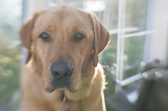 Cody (Kayleigh McCallum) Tags: uk boy cute lensbaby photography scotland labrador cody 2014 foxredlabrador