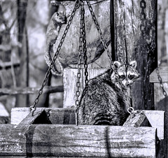 Size Matters (Wes Iversen) Tags: hmbt monochromebokehthursday monochrome squirrels wildlife nature thegrove glenview illinois nikkor18300mm raccoons