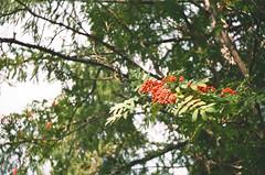 Rowanberry (z_o_z_y) Tags: film nature symbol kodak russian smena rowanberry