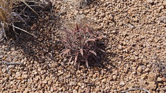 Biznaga (sergioniebla) Tags: ferocactus latispinus