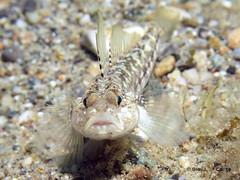 Ghiozzo (gio087) Tags: italy macro photography underwater capo noli savona ghiozzo