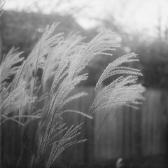 Things In My Garden [6 of 6] (jwbeatty) Tags: blackandwhite bw 120 film nature analog mediumformat blackwhite illinois ishootfilm bandw ilford yashica hp5plus yashicamat124g lakezurich filmisnotdead maidensgrass