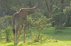 Juvenile Masai Giraffe (Wouter's Wildlife Photography) Tags: nature animal mammal kenya wildlife juvenile giraffacamelopardalistippelskirchi masaigiraffe