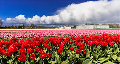 Under a beautiful sky (zilverbat.) Tags: flowers blue red white nature dutch clouds landscape photography blauw tulips nederland thenetherlands dramatic wolken rood wit tulpen tullip bollenstreek bollenvelden dutchholland zilverbat tullipfields