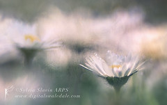 Daisy Dew (Sylvia Slavin ARPS (woodelf)) Tags: water lensbaby daisies droplets bokeh orchard dew daisy edge80