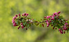 Ikebana (Chizuka2010) Tags: spring blossoms harmony buds flowerarrangement treebranch crabapple springblossoms floralart harmonious japaneseflowerarrangement hbw greenbokeh bokehwednesday chizuka2010 bokehikebana