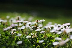 Grassroots (Debmalya Mukherjee) Tags: flowers white 50mm bokeh kashmir jammuandkashmir pahalgam canon550d debmalyamukherjee