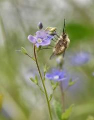 Bombylius major (isabelle.bienfait) Tags: major insecte fourrure bombyliusmajor sigma105mm bombylius bombyle nikond7200