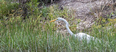 20160601-_Q6I5439.jpg (Lake Worth) Tags: bird nature birds animal animals florida outdoor wildlife wing feathers wetlands everglades waterbirds southflorida birdwatcher canonef500mmf4lisiiusm canoneos1dxmarkii
