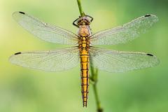 Orthetrum cancellatum (Prajzner) Tags: morning macro dragonfly sigma naturallight manfrotto odonata sigma105mmmacro blacktailedskimmer orthetrumcancellatum focusstacking nikond7100 velbonmagslider